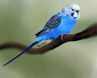 Budgie by MagicBirdie