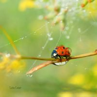 The Ladybug and The Dew by LuizaLazar