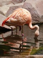 Drinking Flamingo by shinigamisgem