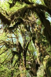 Hoh more Moss Trees 5 by seancfinnigan