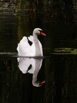 The reflection of a wonderful swan by AutumnIulia