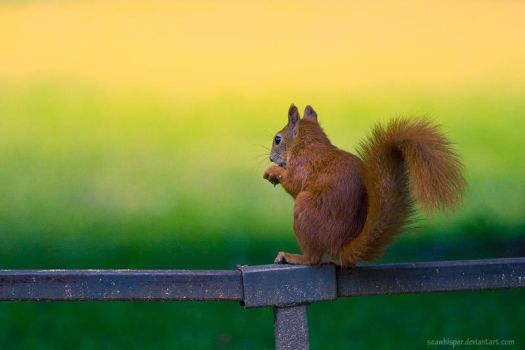 Squirrel Variations 2 by squirrelhollow