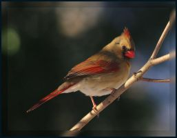 Cardinal Posing by barcon53