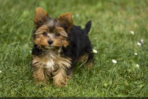 Cute Dog Pup Johnny - 2 by theDevil-photography