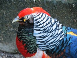 Golden Pheasant x Lady Amherst's Pheasant by kiwipics