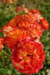 Roses by costins
