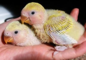 lovebird chicks by sataikasia