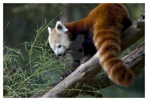 NomNom Time for Red Panda by ewm