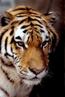 Tiger 2 by Art-Photo