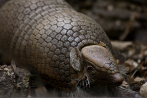 Amorous Armadillo by FriendFrog