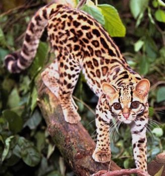 Margay by SkyNight