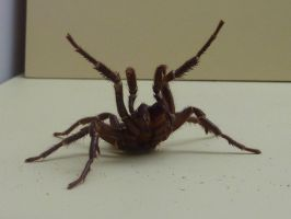 Funnel Web Spider by weaz73