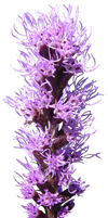 Violet Flower Stalk PNG by da-joint-stock