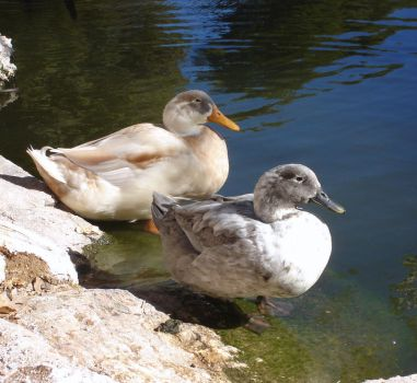 Deux Canards by Shellcat