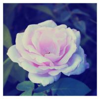 white rose by jagerion