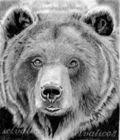 brown bear by selvatico3