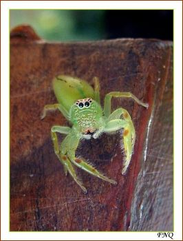 Little Green Spider by FNQ
