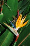 Bird of Paradise by Dragon-Reaper