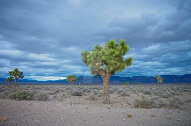 A lot of cool Joshua Trees by dr-blackross