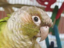 Green Cheek Conure by Shortwinger