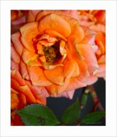 the last Rose from my garden by GLO-HE