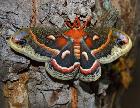Cecropia Moth by DMStrecker