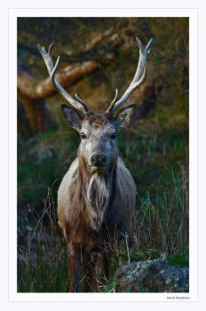 Arran Stag by Davepemb