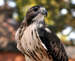 Red Tailed Hawk.1. by HecklingHyena