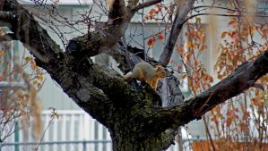 2018 January 09 1139.14.  Douglas Squirrel by AAAHartvisen