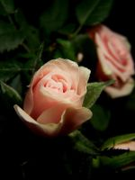 Roses by Amelie1994