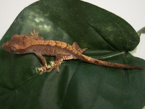 Crested Gecko- CG-10-7 by wolverinette