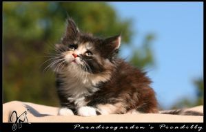 Maine Coon Baby by kyolein