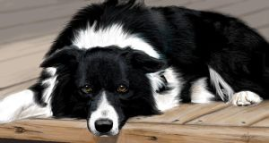 Border Collie pic by daisy7