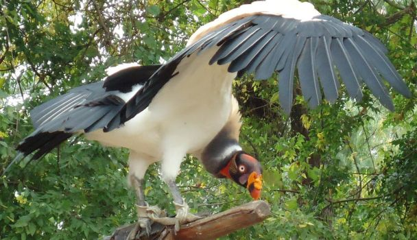 King Vulture by Vicymelody
