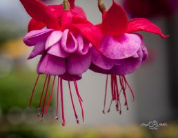 Fuchsia Bloom by StephGabler