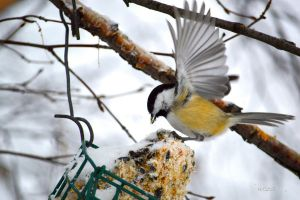 Eating Chickadee by Spid4