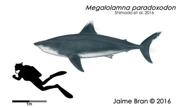 Megalolamna paradoxodon by Bran-Artworks
