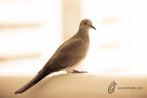 Laughing Dove by fahadee