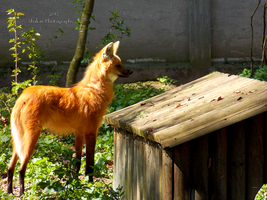 Maned Wolf - 6 by Delragon
