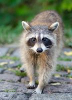 Curious raccoon by GuillaumGibault