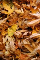 Idyllwild Leaves by viewsionone