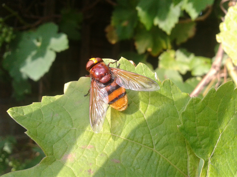 Hornet Hoverfly by GrahamSym