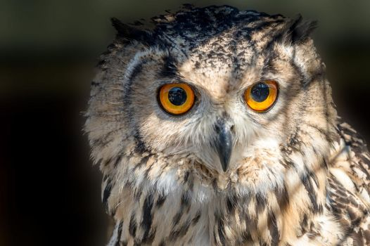 Wise guy......Bengal owl.... by ollie2008