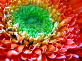 Gerber Daisy Center by Sing-Down-The-Moon