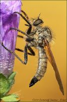 Robber Fly by RichardConstantinoff