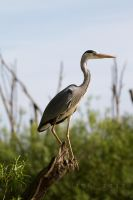 Grey Heron by StoFF-1990