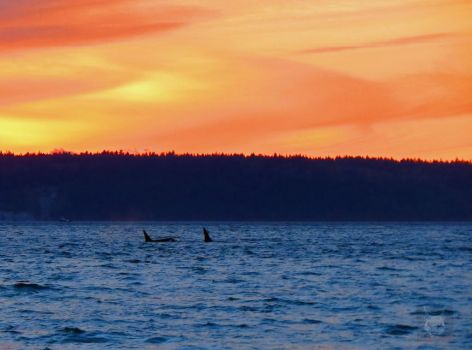 Killer Whale And Sunset by wolfwings1