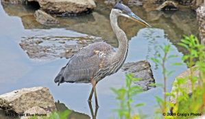 9435 Great Blue Heron by wtsecraig