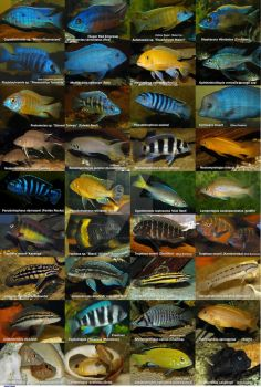 African Cichlids Poster by MichelLalonde
