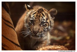 Baby Tiger: Wonder by TVD-Photography